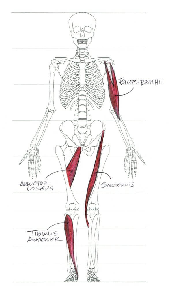 Muscle forms are always seen to lie at an angle relative to the volumes on which they sit. Diagram by Melinda Whitmore.