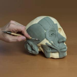Finishing the écorché in Vitruvian Studio's Anatomy of the Face online course.