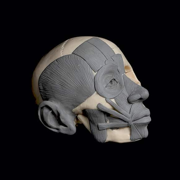 The finished head écorché model.