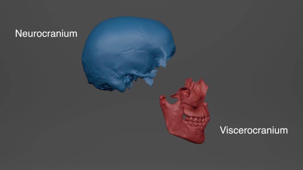 The neurocranium is shown in blue, the viscerocranium in red.